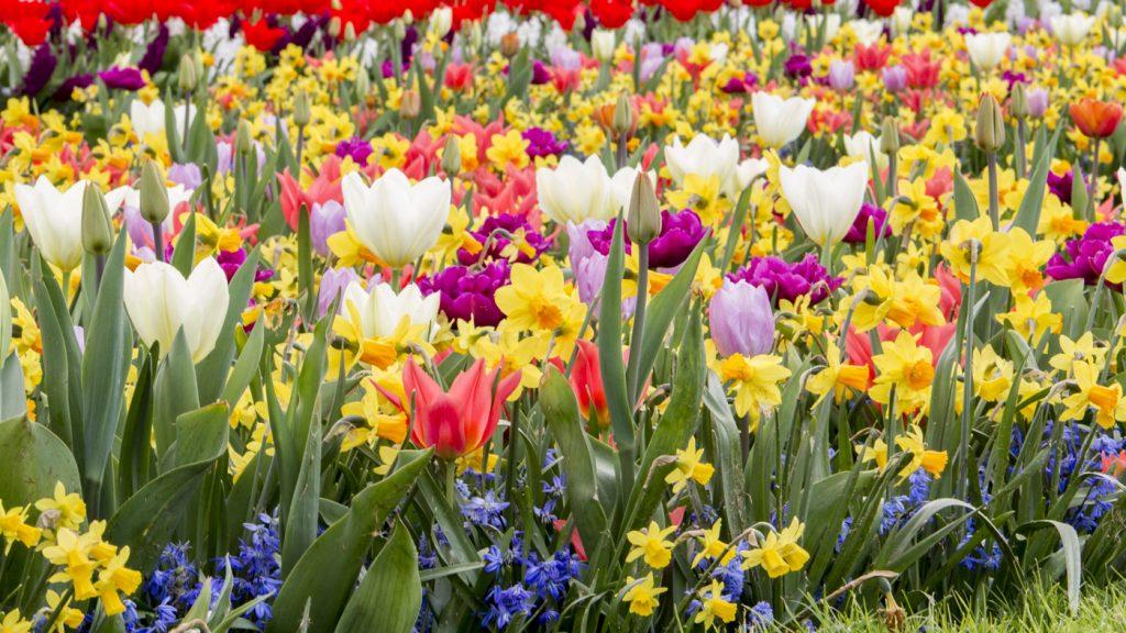 Fleurs multicolores de Keukenhof