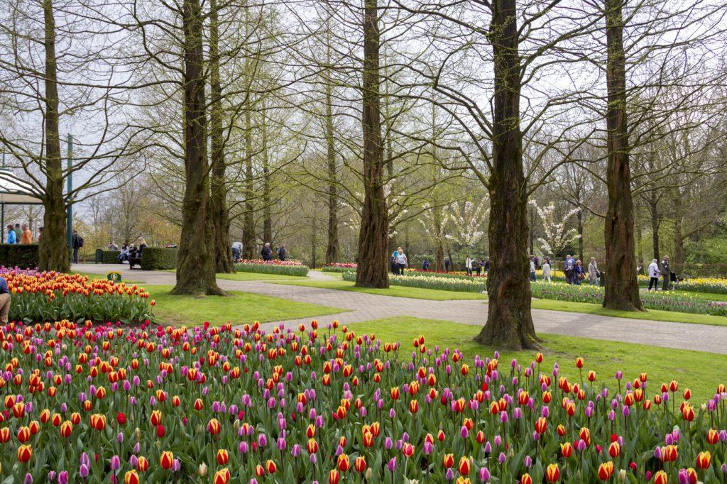 Tulipes en couleurs