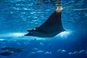 Raie Manta oceanarium