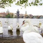 Cygnes à Prague