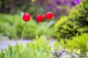 Tulipes à Petřín