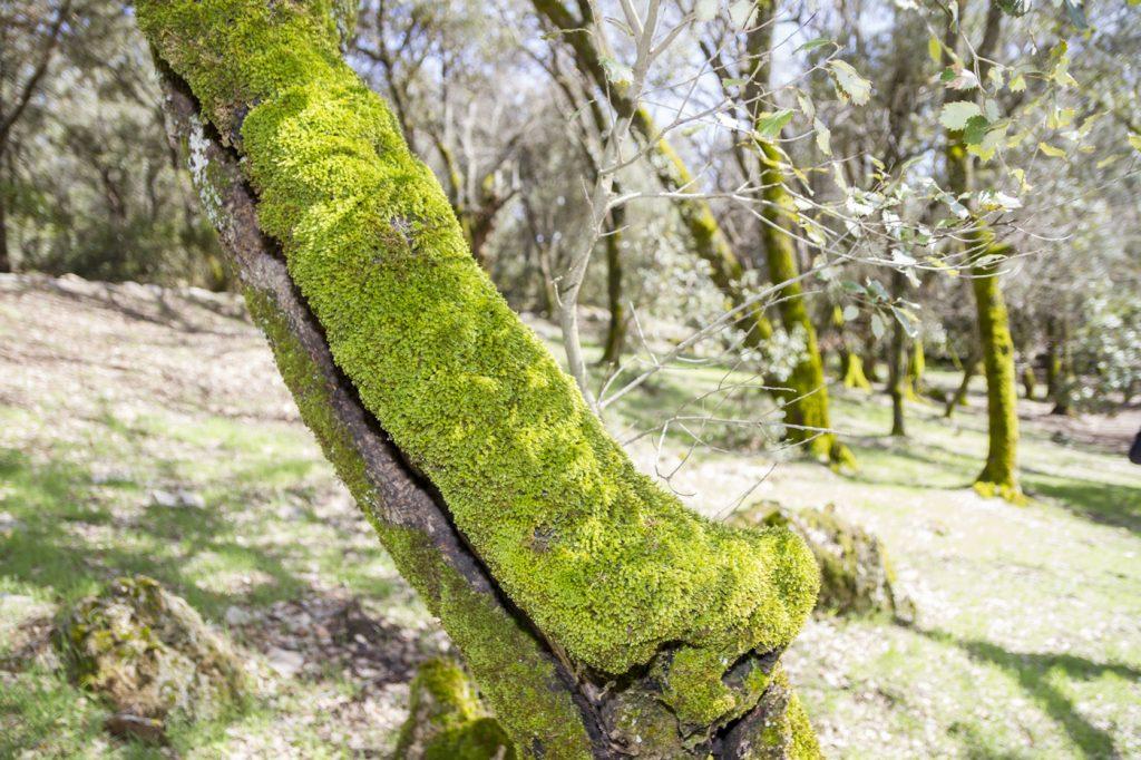 Lichen des arbres à Ain Vittel