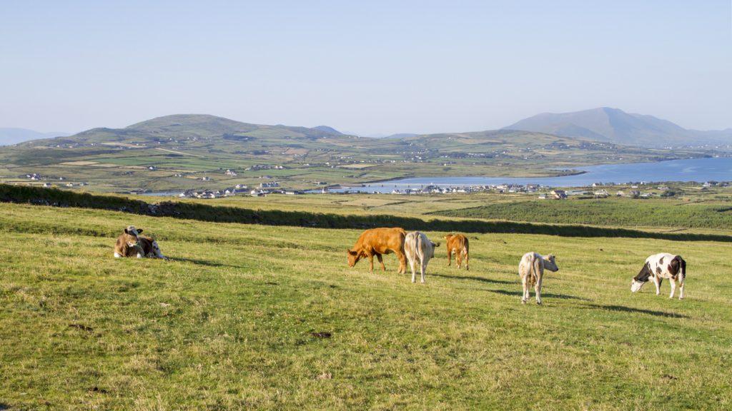 Troupeau de vaches dans le Kerry
