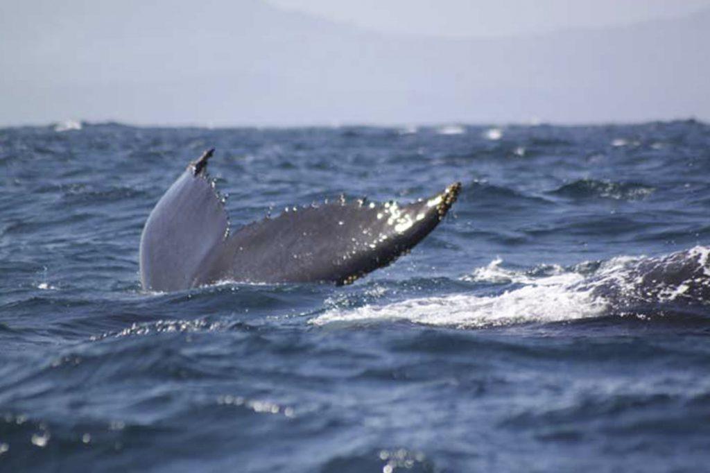 Baleine à Samana