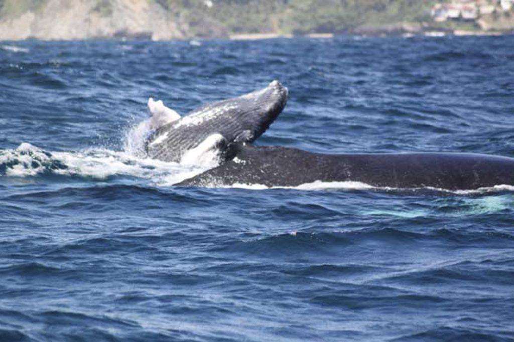 Baleineau à Samana