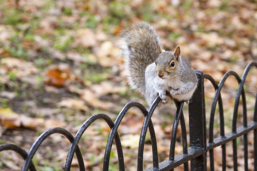Ecureuil à St James park
